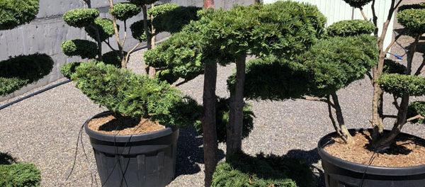 Vdechněte nový život své okrasné zahradě pomocí tvarovaného stromu