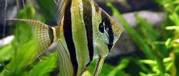 Jak chovat akvarijní ryby skaláry